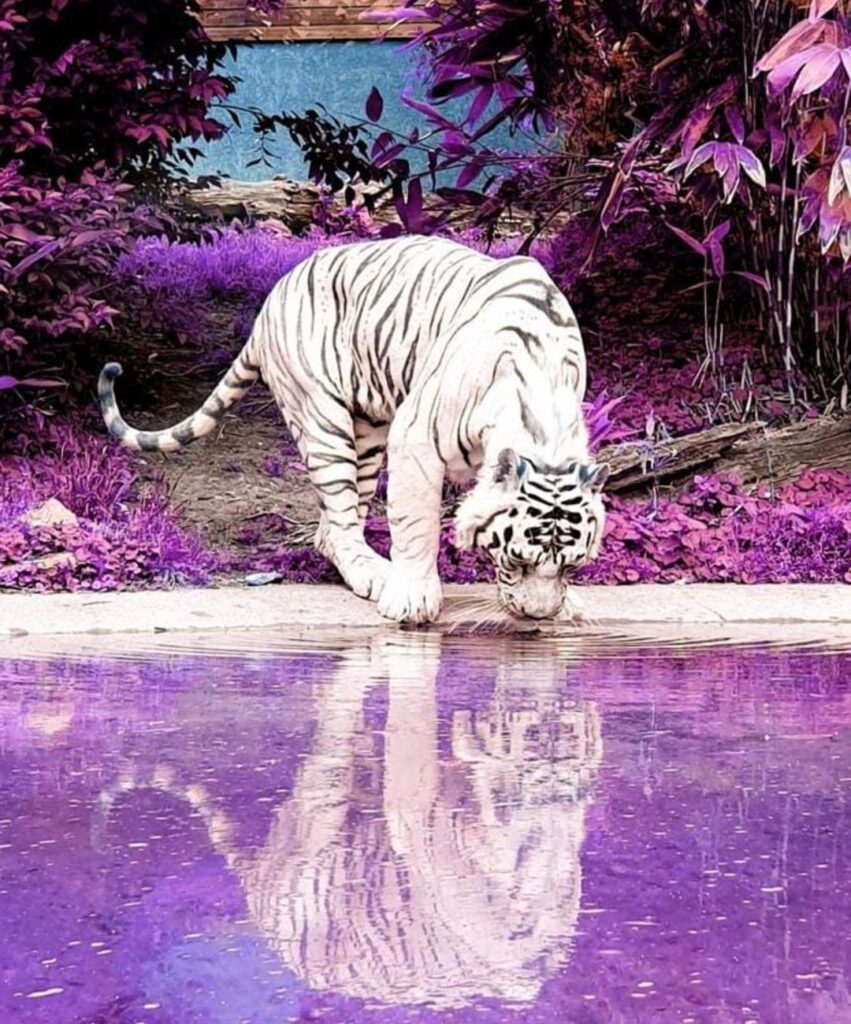 tiger profile image