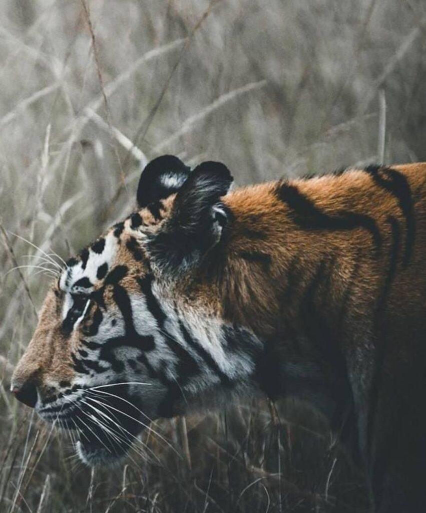 tiger profile photo
