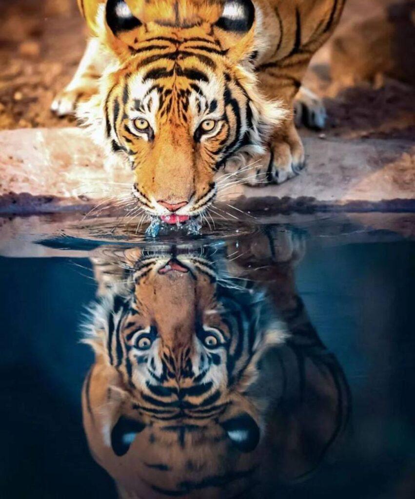tiger profile pic