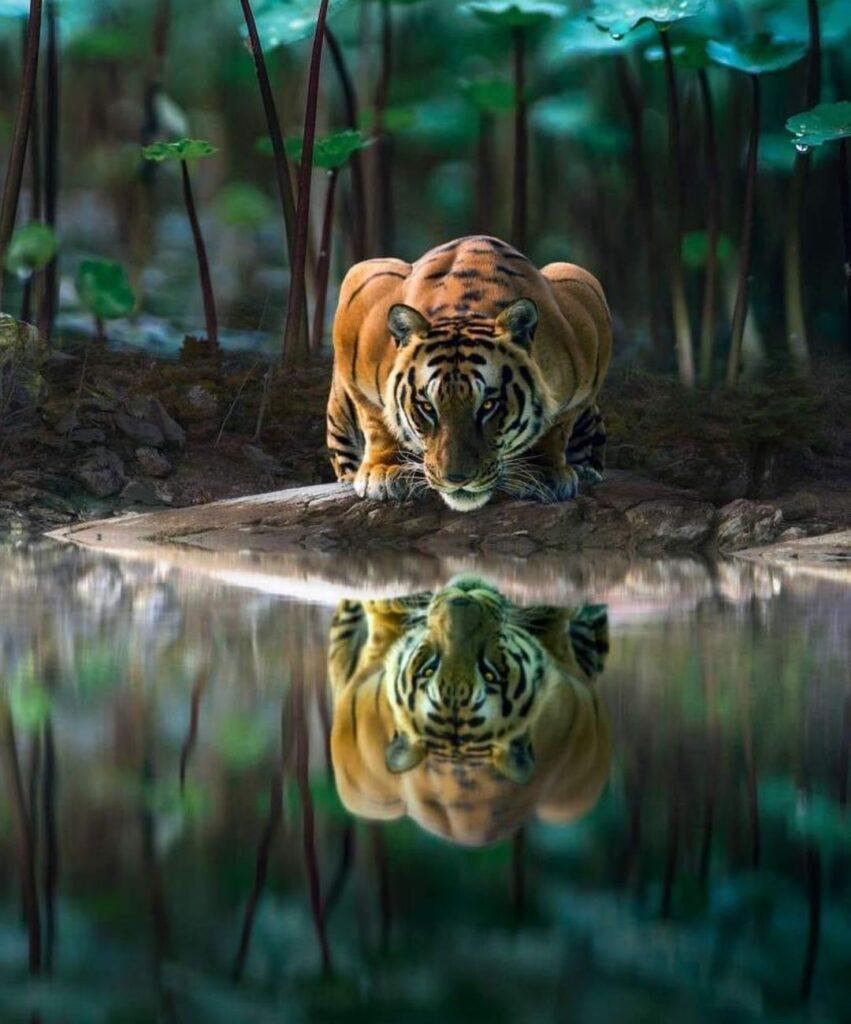 tiger profile picture
