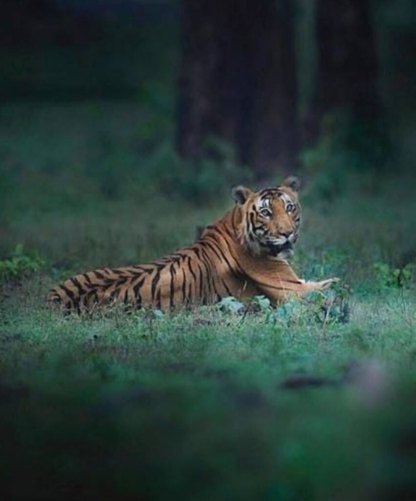 tiger profile picture for discord