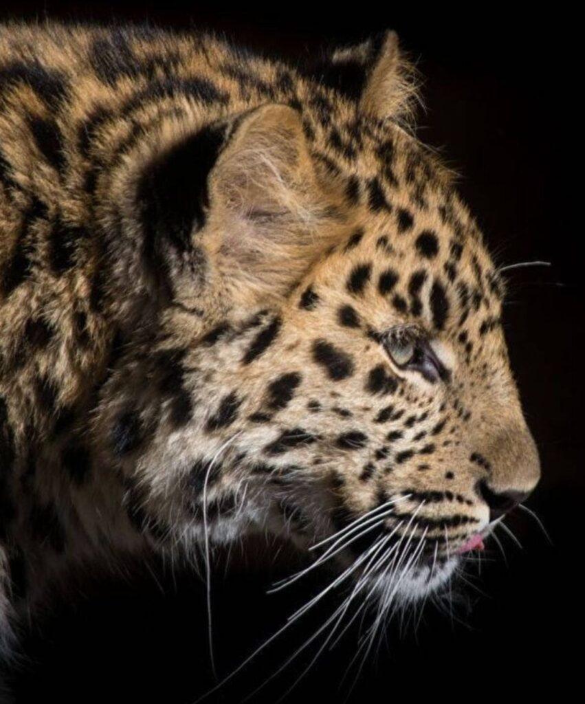 leopard dp