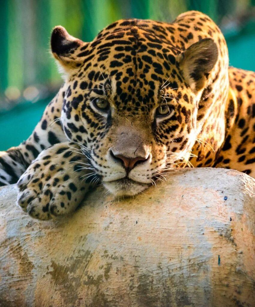 leopard profile dp