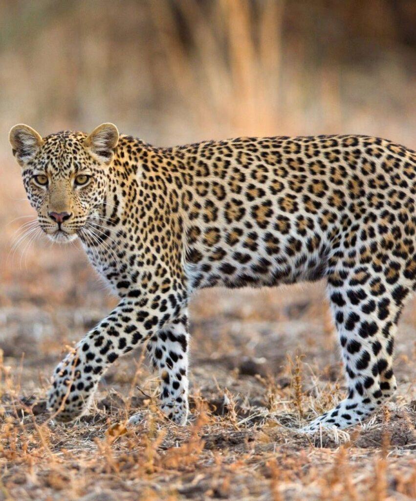 leopard profile picture