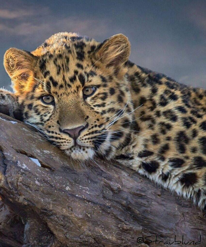 leopard profile picture for discord
