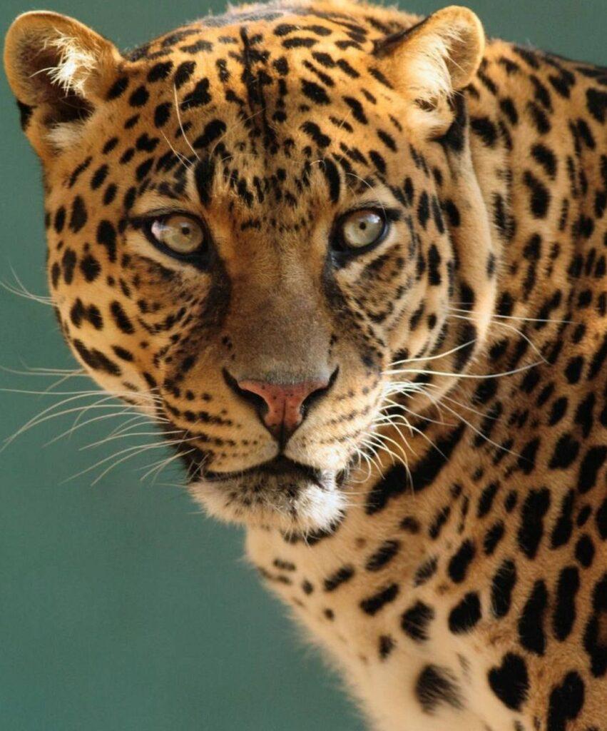 leopard profile picture for facebook