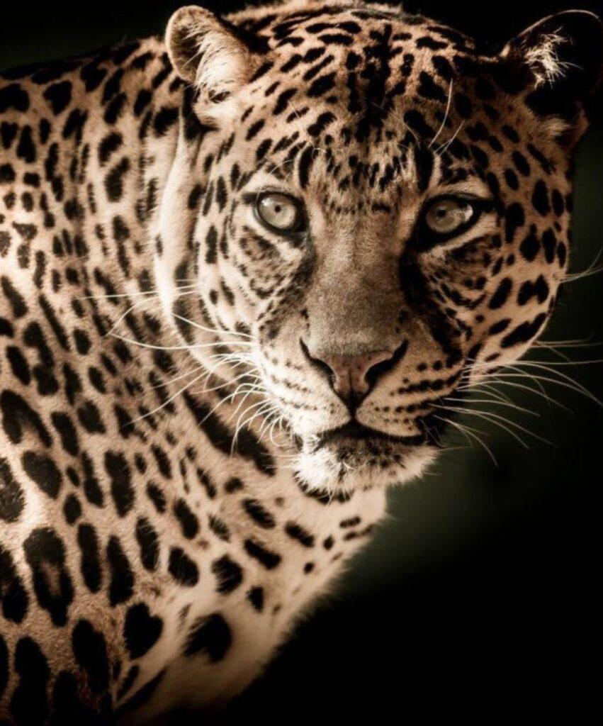 leopard profile picture for tiktok