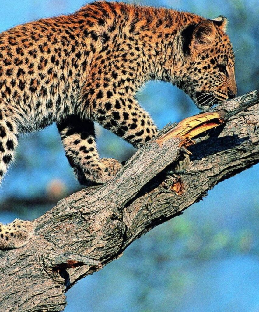 leopard profile picture for whatsaap