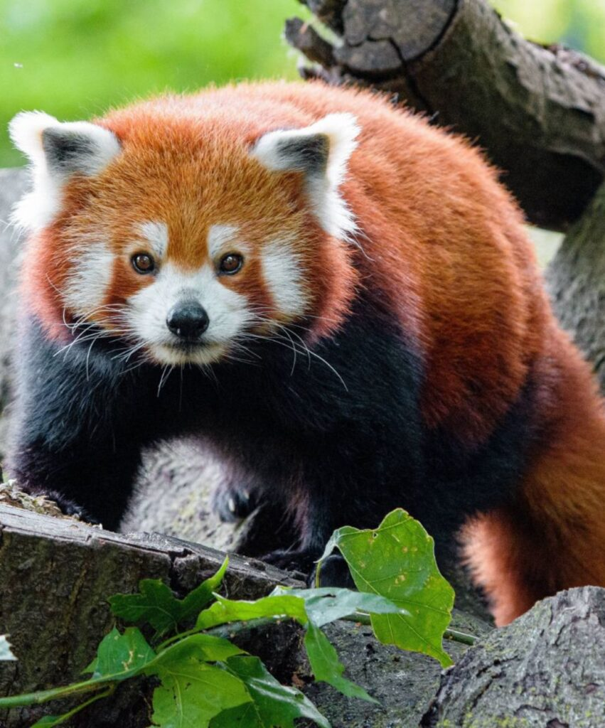 panda dp