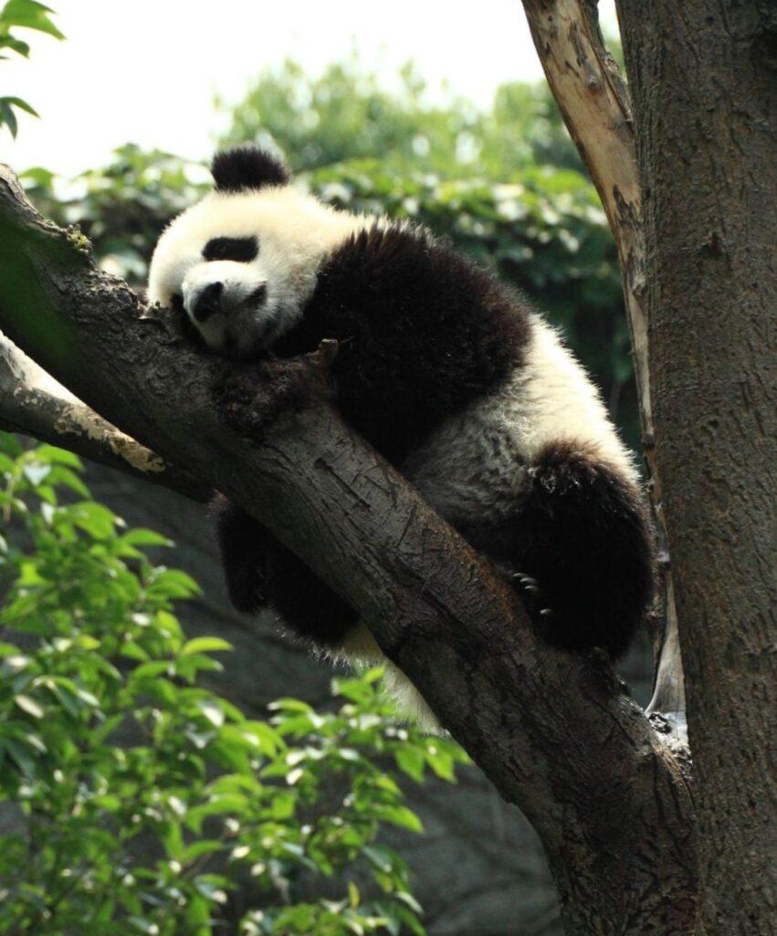 panda profile picture