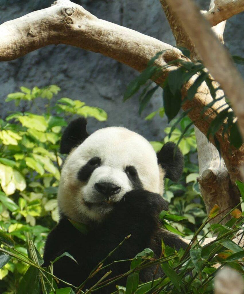 panda profile picture for discord