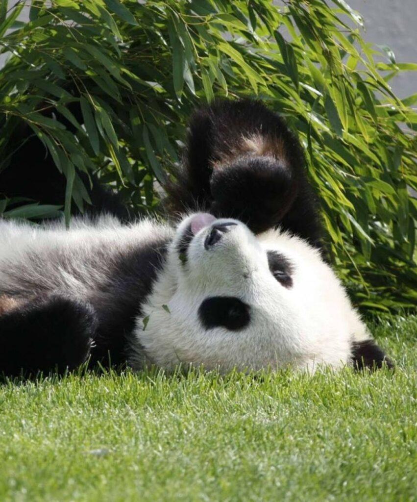 panda profile picture for facebook