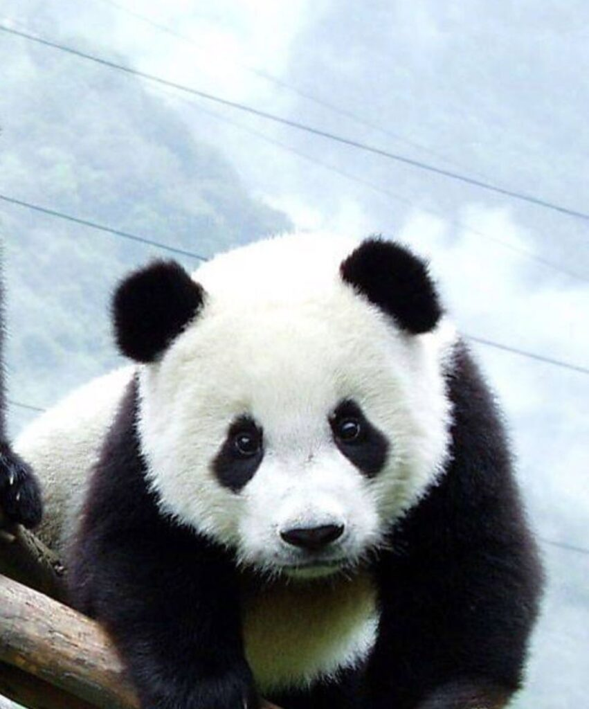 panda profile picture for youtube