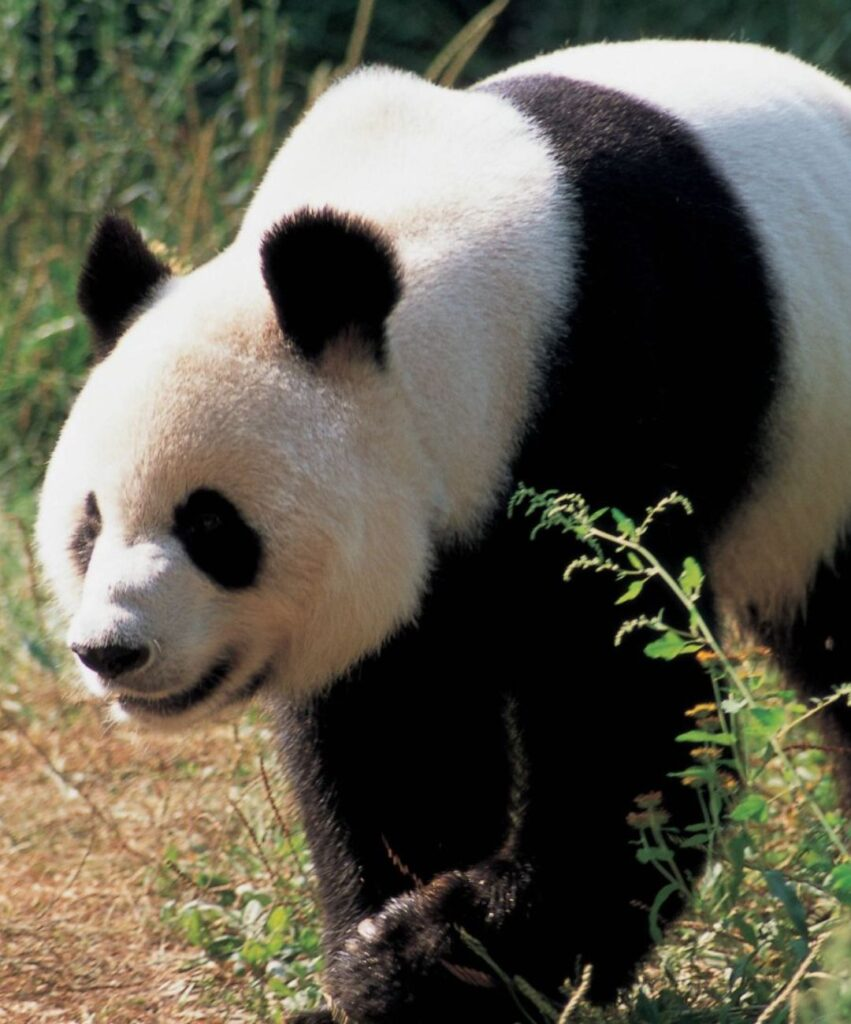 panda profile pictures