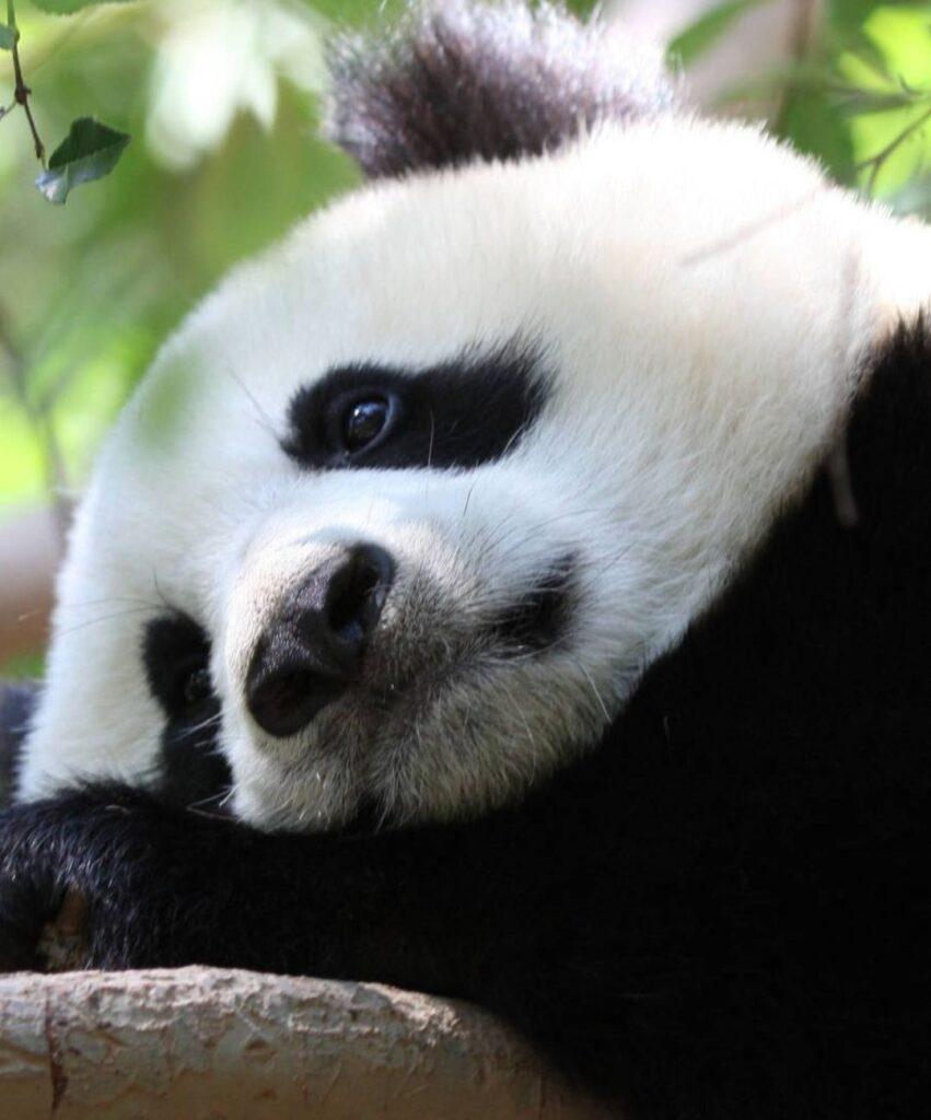 panda profile picture for instagram