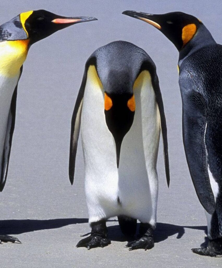 penguin profile picture for tiktok