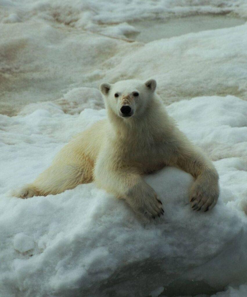 polar bear dp