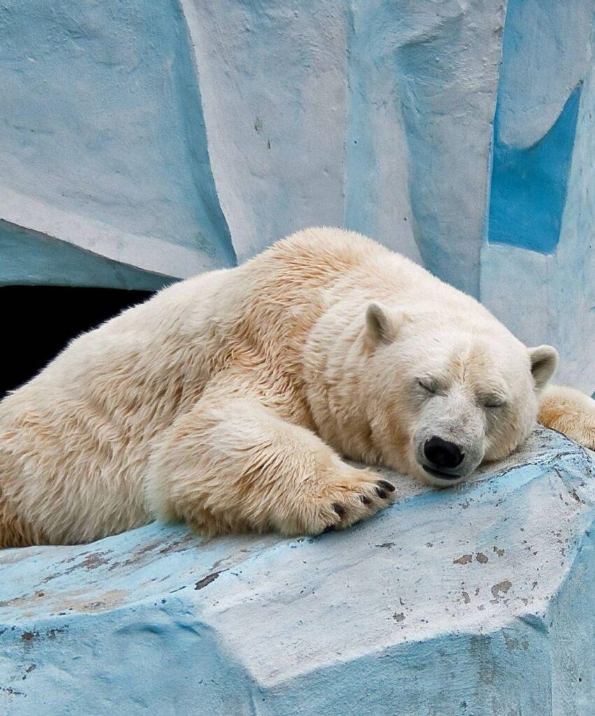 polar bear profile dp
