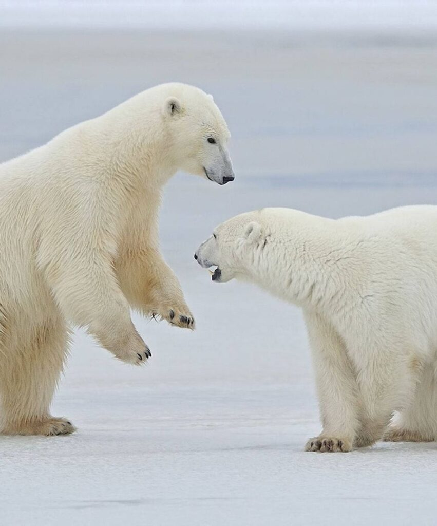 polar bear profile pic