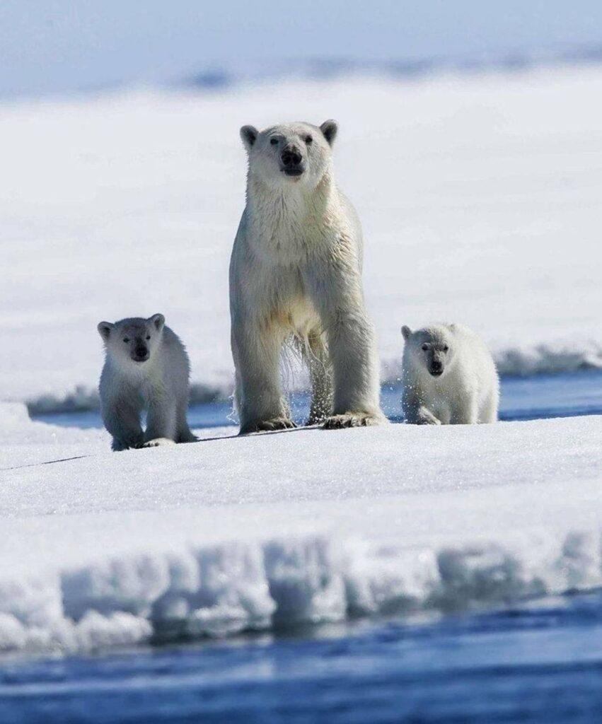 polar bear profile picture