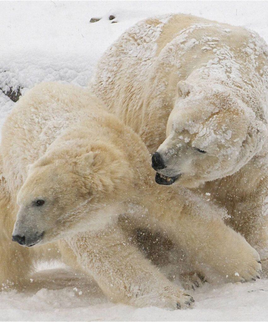 polar bear profile picture for discord