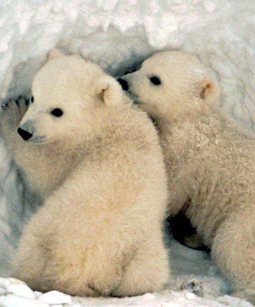 polar bear profile picture for facebook
