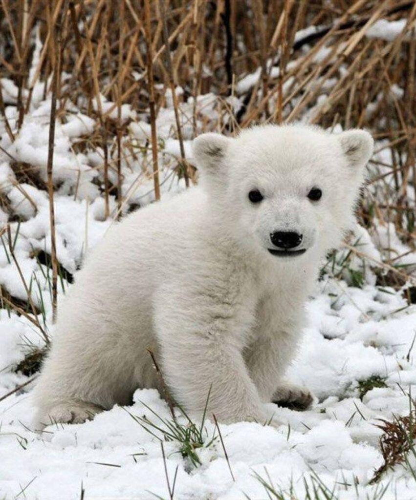 polar bear profile pictures