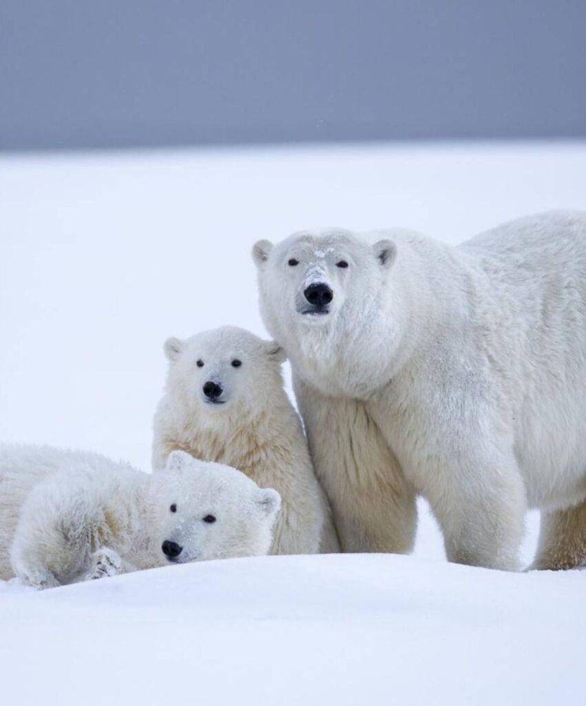polar bear profile image