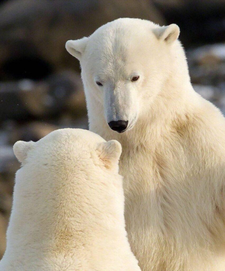polar bear profile photo