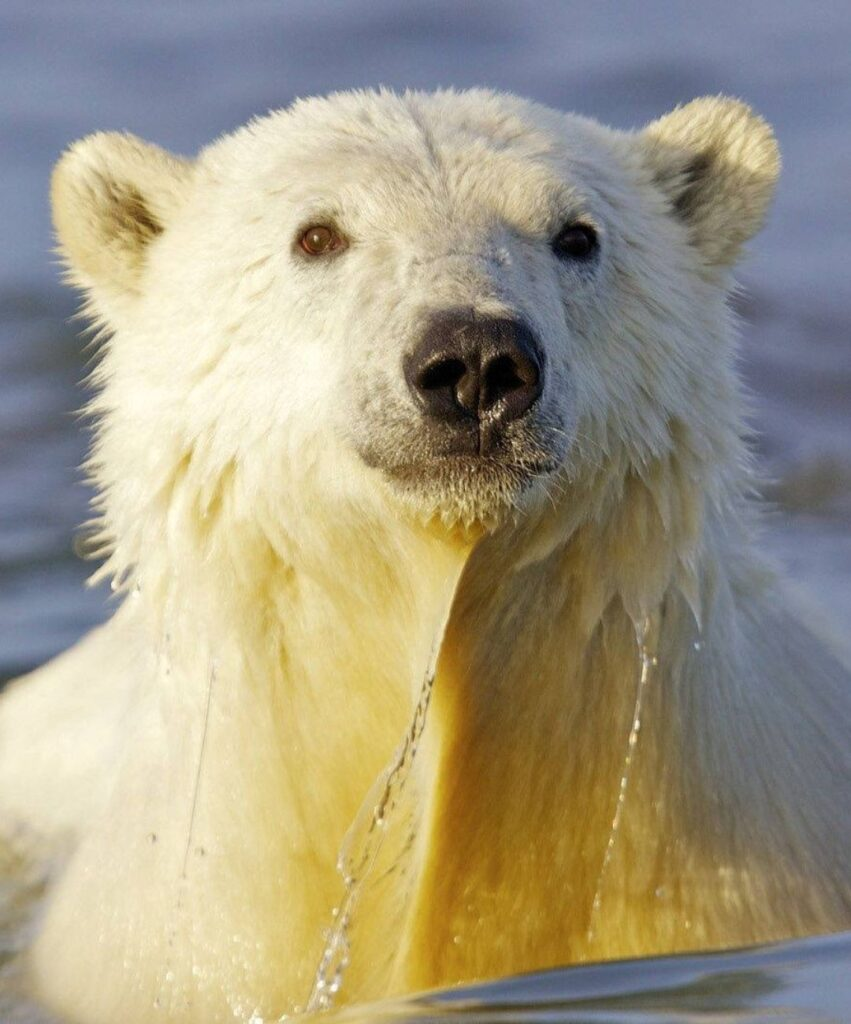 polar bear profile picture for whatsaap